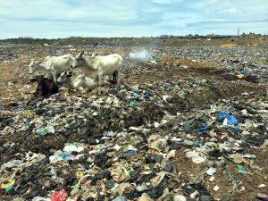 Tiere weiden auf Müllbergen und ernähren sich von Abfällen